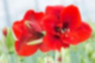 Die Amaryllis ist ein beliebtes heimisches Produkt Deutscher Gärtnerware.