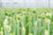 Die Amaryllis: Frische und Qualität sind uns Erzeugern besonder wichtig.