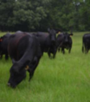 Comm Cows2.jpg
