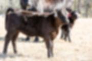 ET calf1.jpg