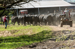 Bulls to the barn.