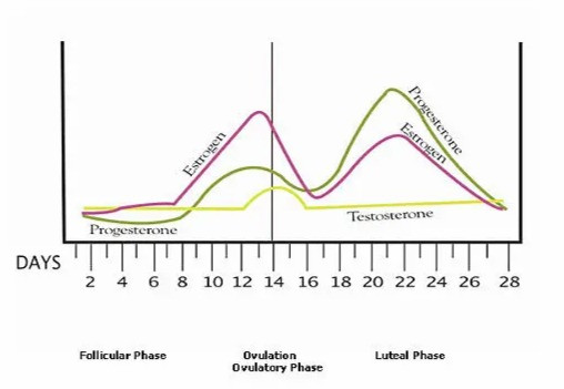 Diagram showing how estrogen and progesterone levels increase and decrease over the course of a 28 day menstrual cycle