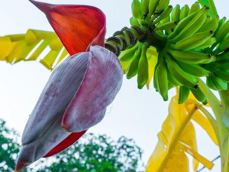 Blooming Amazing Banana Blossom!