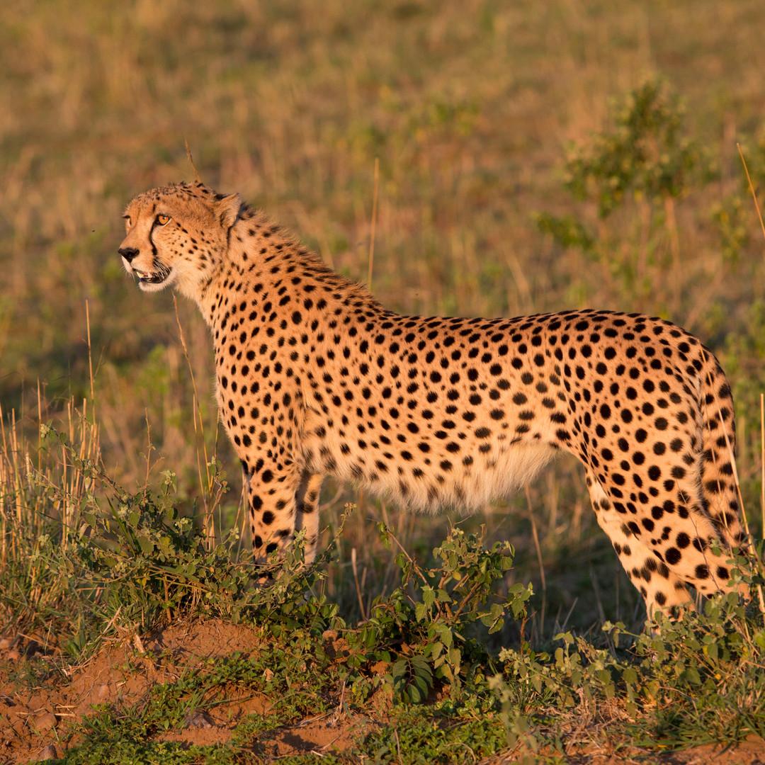 Cheetah Sunset Masai Mara