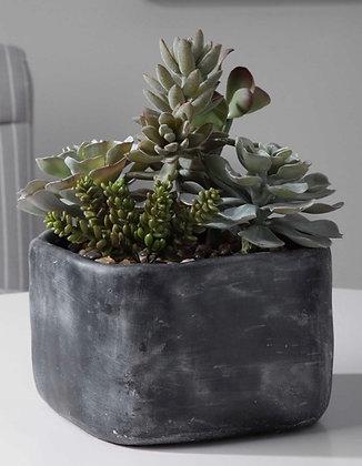 Alverio Succulent