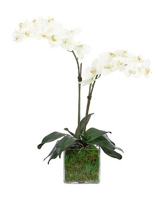 Orchid Phanaenopsis