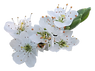 hawthorn-flower-clipart-19.png