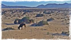 Goats, Cabras, Fuerteventura