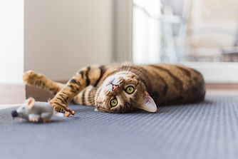 Funny beautiful Bengal cat playing in th