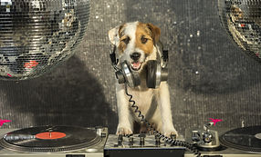 a cute jack russell dog with turntable d