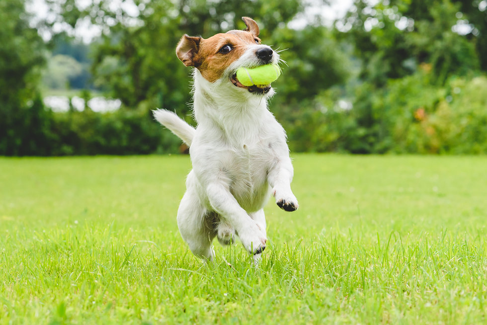 Jack Russell Terrier running and jumping