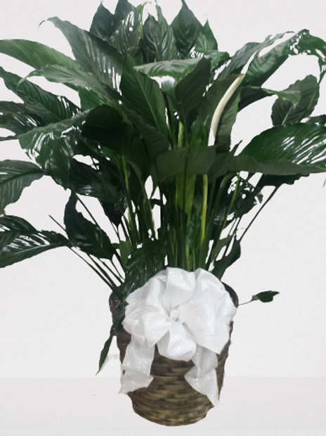 Sympathy - Peace Lily in Basket