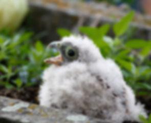 baby_falcon.jpg
