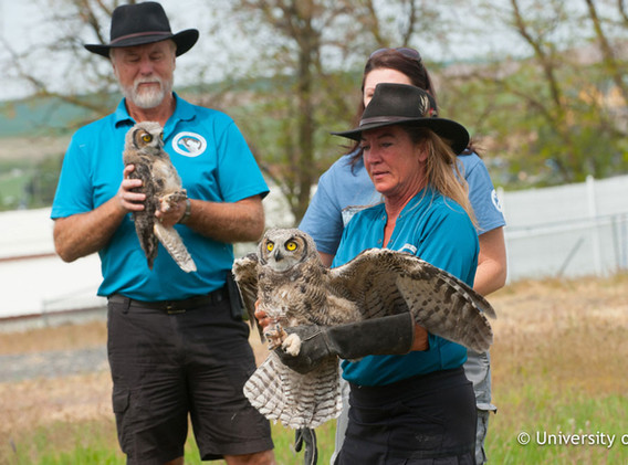 Rehabilitated-great-horned-owls-released