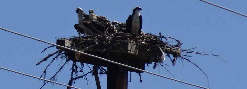 Back-with-mother-osprey-young-reunited.j