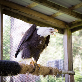Liberty the American Bald Eagle