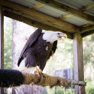 Liberty the American Bald Eagle