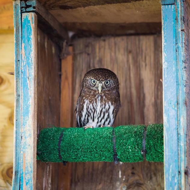 Polka the Northern Pigmy Owl