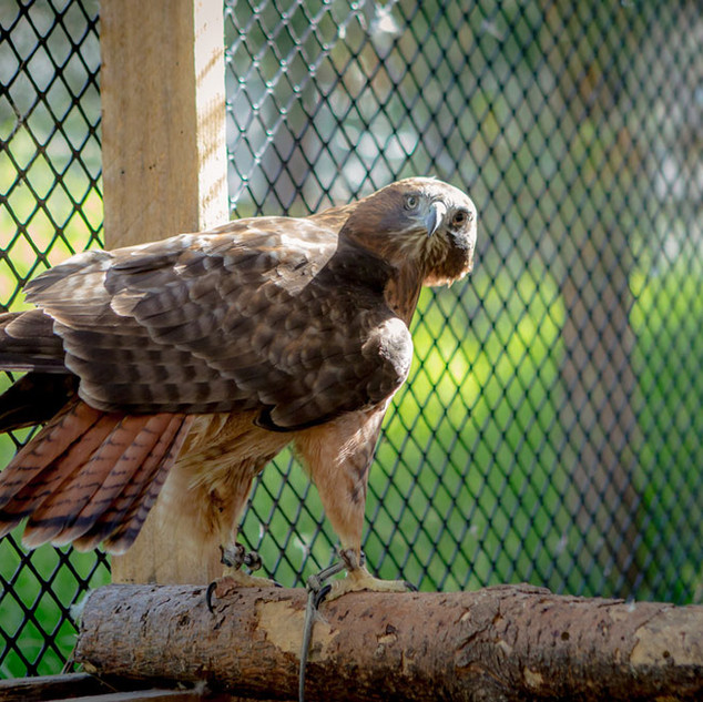 Rusty the Red-Tailed Hawk