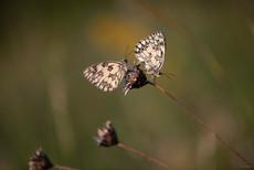 papillon-5537.jpg