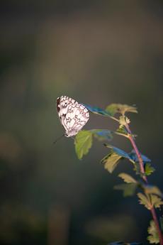 papillon-5573.jpg