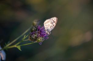 papillon-5565.jpg