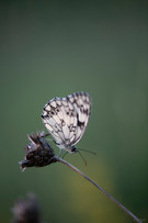papillon-5618.jpg