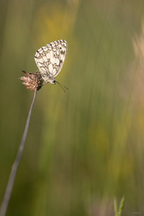 papillon-5529.jpg