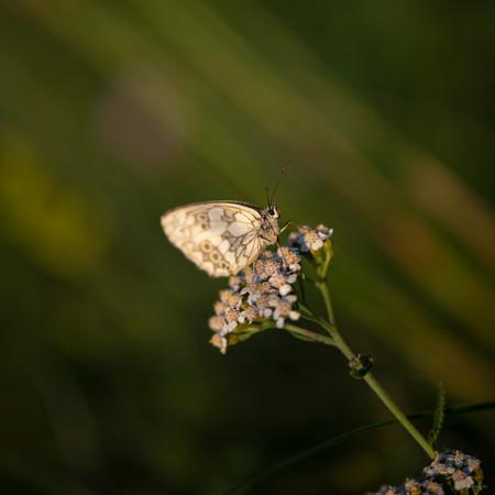 papillon-5549.jpg