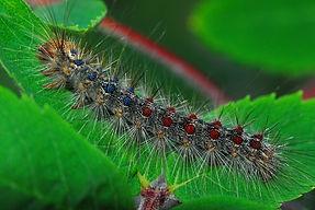 gypsy-moth-960562_1280.jpg