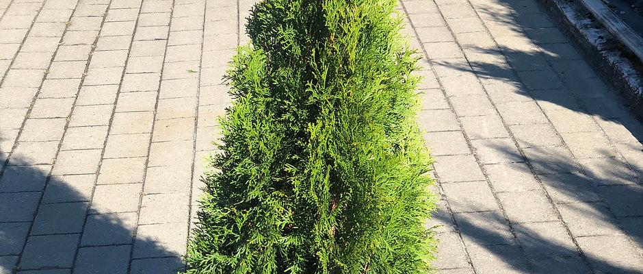 Smaragd 1-1,2m