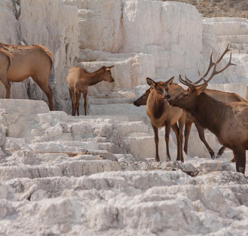 Elk on Mammoth Hot Springs