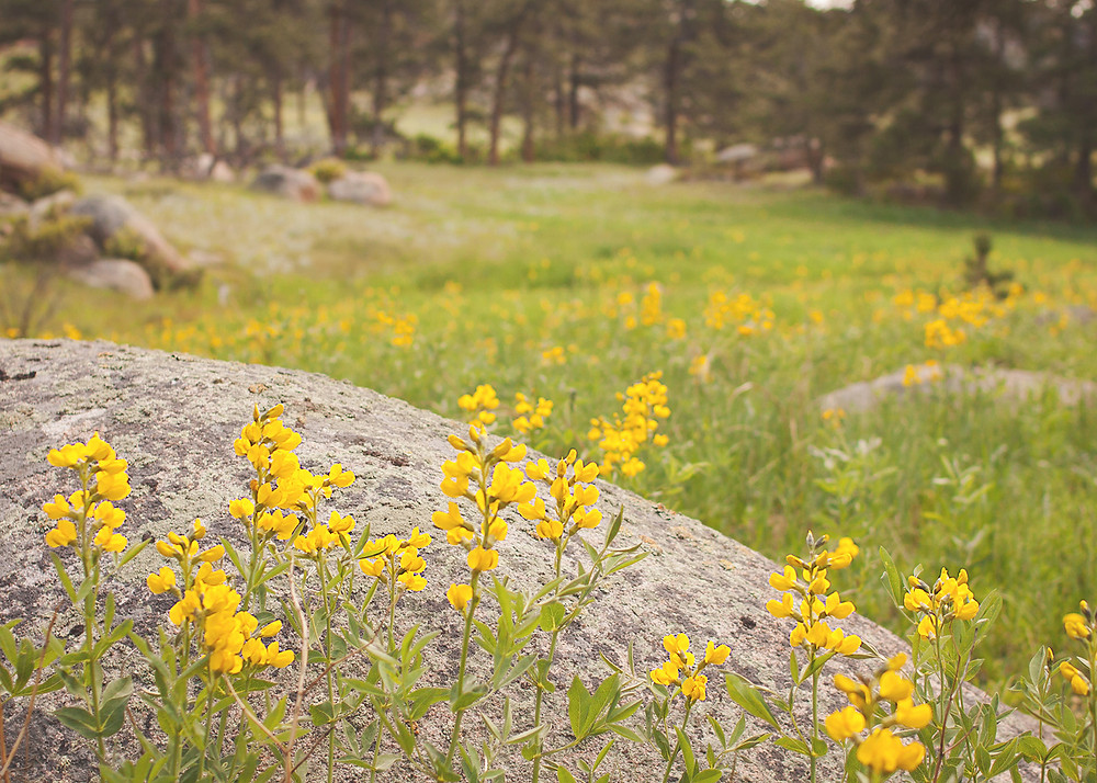 Wildflowers in Lady Moon Meadow, near Red Feather Lakes, Colorado.