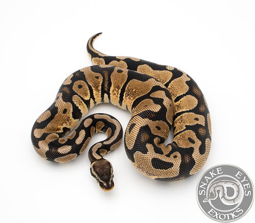 2018 Pastel Scaleless Head Het Hypo M