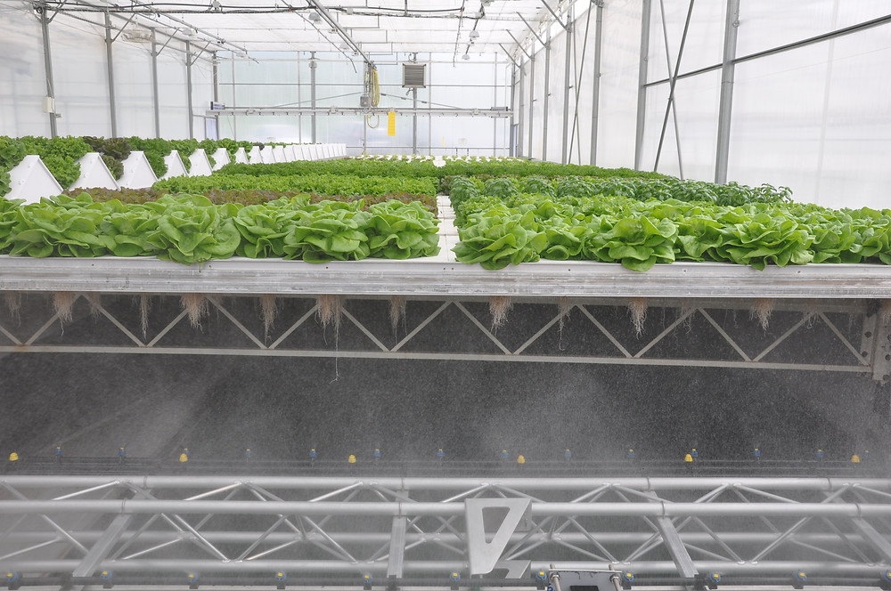 aeroponics, greenhouse, lettuce, aromatics, herbs, Molondin, Cleangreens, pesticide free,