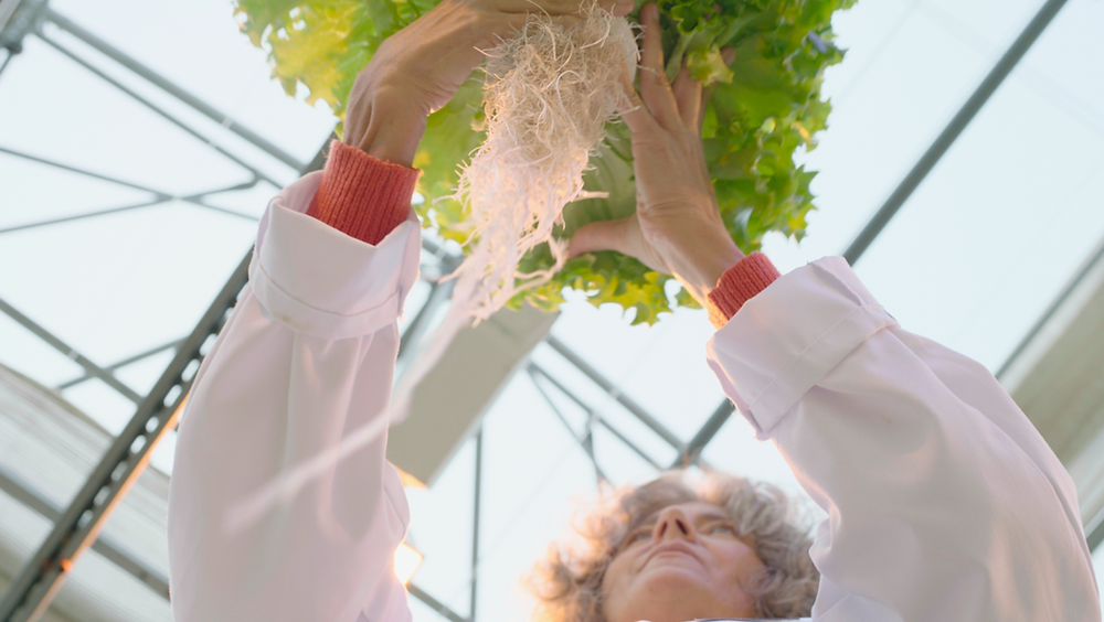 Lettuce, aeroponics, aeroponic, green, leaf, leafy greens, roots, cleangreens, persticide free