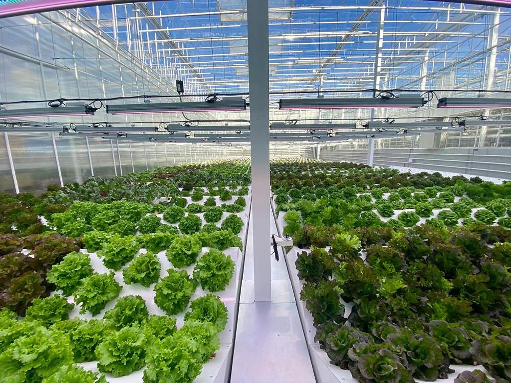 lettuce, aeroponics, farming, growing, geneva, switzerland,