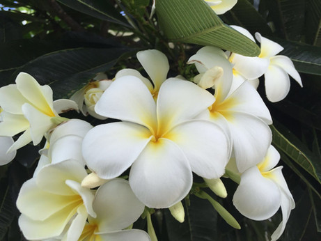 Yoga Blume Plumeria