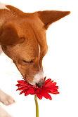 赤い花と茶色の犬