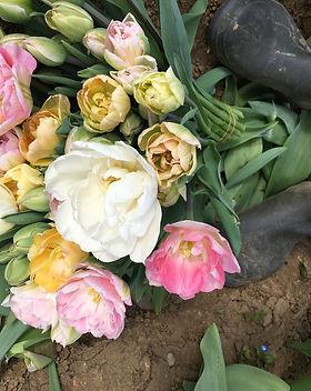 april tulpen frisch vom feld.jpg