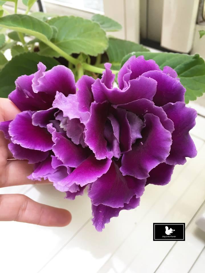 紫色大岩桐