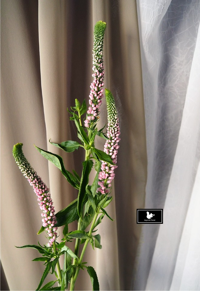 追風草 Veronica linariifolia