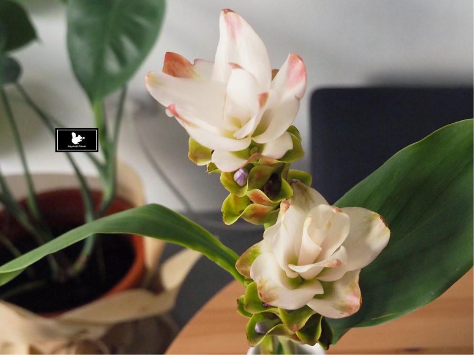 薑荷花 Siam Tulip