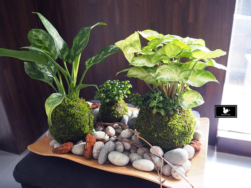 新竹植栽苔球組盆