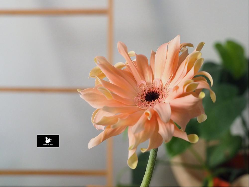 非洲大雛菊 Gerbera jamesonii Bolus
