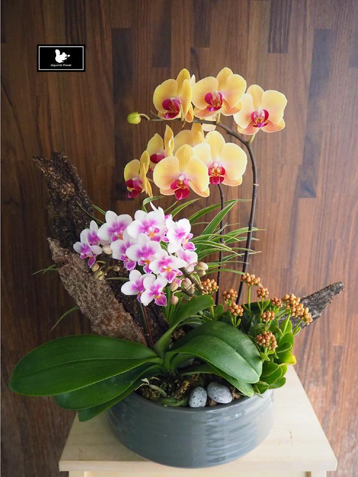 新年雅緻蘭花組盆