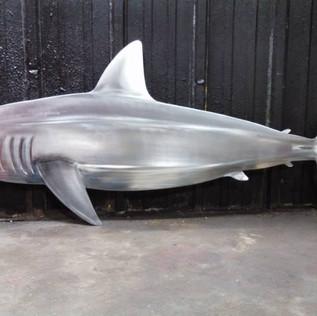 Shark (1).jpg