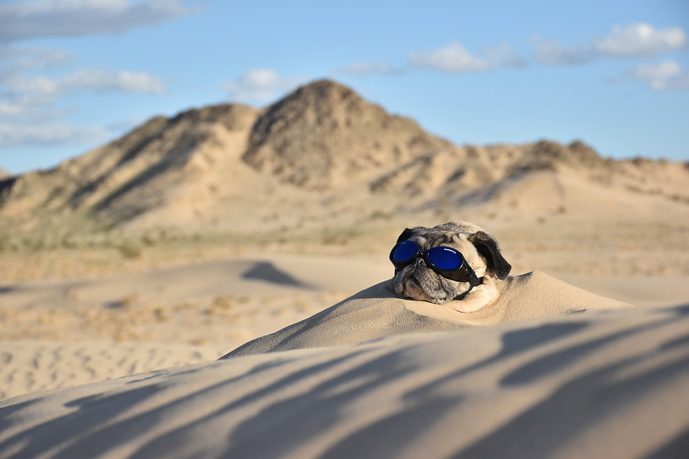 Mack the Adventure Pug sticks his head out of the sand in the Mojave Desert of California.