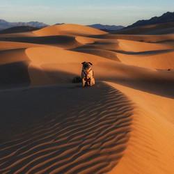 The endangered Wild Goggled Desert Pug i