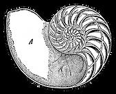 chambered-nautilus-granger_clipped_rev_3